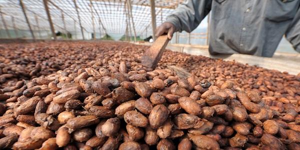 واردات دانه کاکائو