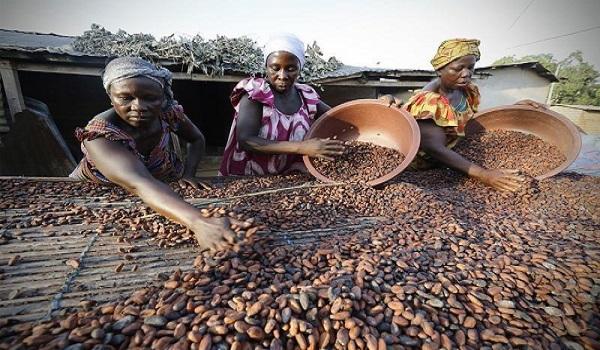 واردات دانه خام کاکائو
